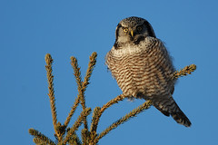 Northern Hawk Owl, Whitehorse, Yukon. 2 Jan 2013. (Cameron Eckert) Tags: wild canada color colour bird nature beauty birds animal outside bill pattern natural outdoor wildlife awesome north birding flight wing beak feathers conservation biosphere yukon wilderness migration delicate northern habitat pure graceful ornithology birdwatching rare birder whitehorse avian ecological ecosystem biodiversity avifauna birdwatcher ivorybilled
