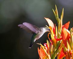 Ruby Throated Hummingbird (Denise Pelley) Tags: rubythroatedhummingbird sayreville archilochuscolubris