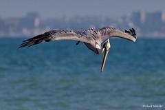 Brown Pelican (AA), diving, Santa Monica Bay CA CQ4A1600a (Hart Walter) Tags: brownpelican malibulagoon marbledgodwit earedgrebe santamonicabay pelicanfeedingfrenzy
