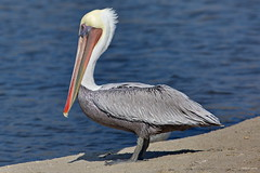 Brown Pelican, ad., standing, Malibu CA CQ4A1510 (Hart Walter) Tags: brownpelican malibulagoon marbledgodwit earedgrebe santamonicabay pelicanfeedingfrenzy