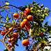 Persimmon Tree and Blue Sky / 青空と柿