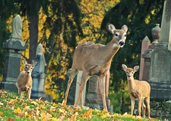 checking things out (beachbum prints) Tags: trees ontario london cemetery animals doe deer lon leafs dall