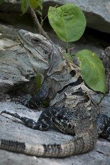 Garrobo (ramosblancor) Tags: naturaleza black nature mxico wildlife tulum iguana tropical animales lizards caribe garrobo ctenosaura similis lagartos rayada