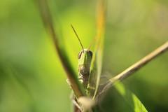 A cricket.. (Jasmin Ortolan) Tags: macro green eye nature canon cricket 450d