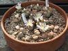 DSCF1468 (BobTravels) Tags: plant stone bob lithops lithop messem bobwitney