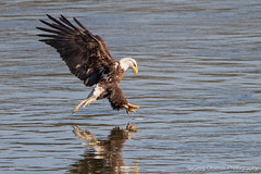 And so it begins (greg obierek) Tags: bird canon eagle baldeagle maryland raptor 7d haliaeetusleucocephalus birdofprey birdinflight harfordcounty susquehanariver avain ef14xii eos7d ef500mmf4isl
