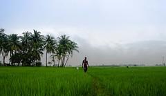 Monsoon Field (Baburaj.P) Tags: green beautiful rain nikon agriculture paddyfields villagelife rurallife nikon5100 baburaj nikond5100 baburajphotography
