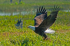 The Pickup (Snookpics) Tags: birds florida wildlife elements brevard viera vierawetlands