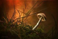 Pilze - Mushrooms - Into the light (Pana53) Tags: light color mushroom photo nikon little gras wald textured boden niedersachsen schirm waldboden lamellen textur nordheide stiel nikond5000 pana53 photographedbypana53 texturedbypana53