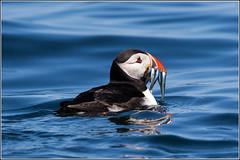 Been Fishing (Explored 4/11/2014) (Smudge 9000) Tags: england fish birds feeding unitedkingdom nt wildlife atlantic northumberland puffin farneislands 2014 arctica fratercula