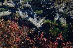Pygmy Pitch Pine on Hawksbill Mountain 2014-1017-182 (LostPineJim) Tags: northcarolina linvillegorge pitchpine pinusrigida burkecounty hawksbillmountain