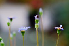DSC06036 (Michael Rasmussen) Tags: flowers autumn flower nature denmark autum sony alpha danmark amount michaelrasmussen sonyalpha amazingamateur minoltaamount sonya99 fujieffect