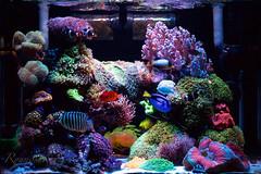 My reef tank ( ) Tags: fish coral aquarium marin reef