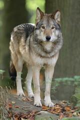 Timberwolf (Tierfotografie Niklas Mattern) Tags: canon eos wolf ef timberwolf wolve wisentgehege springe 7dmarkii 400l28isii