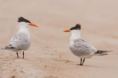 Royal Tern/Sterna maxima (Scott Leonhart) Tags: assateague assateagueislandnationalseashore banded beach gull maryland royalternsternamaxima sand seabird usa