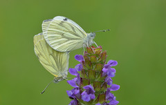 Green-veined White (Pieris napi). (Bob Eade) Tags: seaford lepidoptera butterflies butterfly britishbutterflies eastsussex wildlife nature nikond610 macro micro pair woodland green greenveinedwhite selfheal pierisnapi