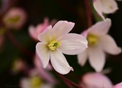 Clematis Armandii (Explore) (jenniemay2011) Tags: nikond5300 vine flower shrub spring evergreen clematisarmandii pink jenniemay climber