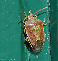 Bug.... (♥ Annieta ) Tags: annieta maart 2017 sony a6000 nederland netherlands tuin garden jardin insect insekt bug wants shieldbug allrightsreserved usingthispicturewithoutpermissionisillegal