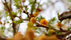 Wadi Namar, Riyadh (Jaseem Hamza Photography) Tags: wadi namar riyadh saudi arabia 700d canon flower tree yellow dslr march 2017 valley nammar hanifa ngc