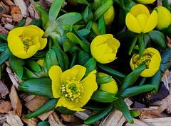 Aconite (zinnia2012) Tags: flowers aconite leaves yellow fol springtheme 7dwf closeup zinnia2012 fleur jaune printemps hintsofspring