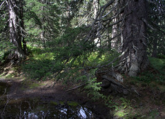 10-IMG_8399 (hemingwayfoto) Tags: österreich austria baum blockwald europa fichte hochmoor hohetauern moos nationalpark natur naturschutzgebiet rauris rauriserurwald reise tannenbaum urwald wald