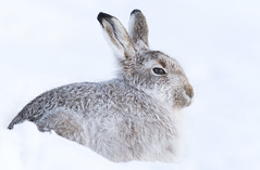 Mountain Hare (oddie25) Tags: canon 1dx 600mmf4ii mountainhare scotland scottishhighlands snow hare winter findhorn