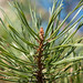 Pinus sylvestris (Scotch Pine)