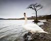 Swan Loch (strachcall) Tags: lochlomond swanloch scotland tree swan water birds wildlife milarrochybay