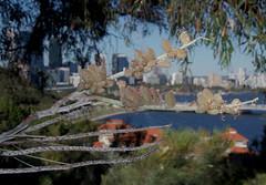 Grevillea eriostachya, Kings Park, Perth, WA, 14/12/16 (Russell Cumming) Tags: plant grevillea grevilleaeriostachya proteaceae kingspark perth westernaustralia
