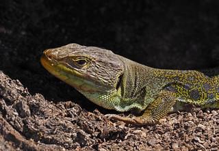 Ocellated lizard (Timon lepidus), La Lancha, Parque natural de la Sierra de Andújar, España