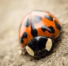 ladybug (Danyel B. Photography) Tags: ladybug marienkäfer insect insekt bug macro makro close nah sony laowa venus 60mm 28 21