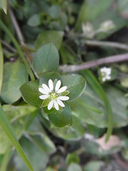 Y (nofrills) Tags: plant plants flora floral flowers weed weeds spring roadside tokyo japan ハコベ コハコベ chickweed commonchickweed white whiteflowers whiteflower macro