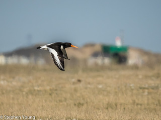 Oystercatcher at Rye Harbour