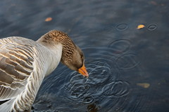 261 (AO'Brien) Tags: arklow wicklow autumn birds