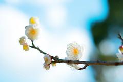 Plum blossom (sonica@2006) Tags: plum blossom its getting warmer day by the flowers seem be pleased too japan blooming xm1 xf35mm fujinon fujifilm