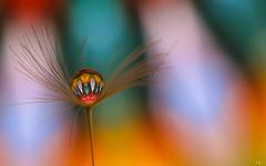 kaleidoscope (Ⓨ a s m i n e Ⓗ e n s +4 900 000 thx❀) Tags: kaleidoscope drop macro 7dwf dandelion color hensyasmine canon
