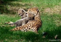 Moeder met twee jonge Cheetahs (ditmaliepaard) Tags: cheetahs safaripark beeksebergen hilvarenbeek doorhetglas