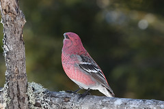 Durbec des sapins ♂ Pine Grosbeak (2017-03-07) (Sylvain Prince) Tags: pinicolaenucleator