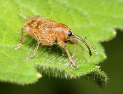 Hazel Nut Weevil (timz501) Tags: weevil jersey curculionucum hazelnutweevil