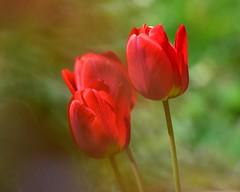 DSC_4414 (sylvettet) Tags: flowers red fleurs tulipes 2017 nature extérieur tulips coth5