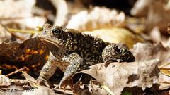 American-Toad (Aria (RJWarren)) Tags: americantoad bufoamericanus nature wildlife fauna animal amphibian toad midwest iowa polkcounty leaves sitting canon t3i tamron150600mm