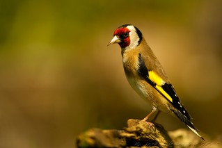 Pintassilgo | Carduelis carduelis | Goldfinch