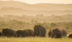 African Elephant (Loxodonta africana) (Brendon White) Tags: africanbushelephant loxodontaafricana phindaprivategamereserve southafrica wildlifephotography nikon d7100 nikkor200500f56 layers horizon grazing