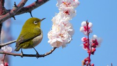 メジロ whiteeye japan bird spring plum 梅