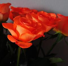 DSC_6691 (PeaTJay) Tags: nikond300s sigma reading lowerearley berkshire macro micro closeups gardens indoors nature flora fauna plants flowers bouquet rose roses rosebuds