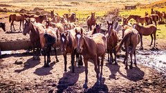 Horses on Easter Island (Lee Edwin Coursey) Tags: chile 2017 pacific travel livestock polynesia island easterisland horses southamerica horse rapanui animal