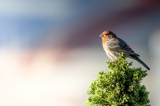 House Finch Topped Conifer