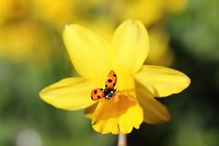 I'm away ;-) lady bird (bilska.anna) Tags: ladybug ladybird