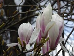 Magnolias attendant. (ajhammu0) Tags: lancaster 2017 spring magnolia