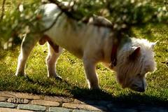little white doggie (Ola 竜) Tags: whitedoggie dog spring bokeh green grass lowpov focus whitefur furry fluffy cute animal portrait terrier lawn leaves dof pavingstones pavement sidewalk doggy doggie pup puppy pet kawaii funny sunny sunlight sunshine shadow